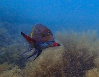 Brightly Colored Snapper in a Sea of Baby Shrimp Underwater in M Stock Photo