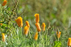Brightly colored sunlit orange poppies against a natural green b royalty free stock photos