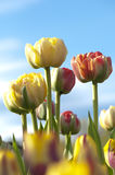 Brightly colored tulips and a blue sky Royalty Free Stock Photos