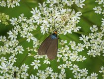 Virginia Ctenucha Moth Stock Images