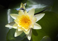 Brightly Colored Water Lily or Lotus Flower With Dragonfly. Beautiful rich colors of a waterlily or lotus flower on the water's surface with colorful blue Stock Photo