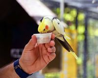 Brightly colored yellow cockatiel snacking bird seed out of a tiny hand held plastic cup. A cockatiel snacking bird seed out of a tiny hand held plastic cup at Royalty Free Stock Photo
