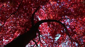 Brightly coloured Autumn leaves stock video