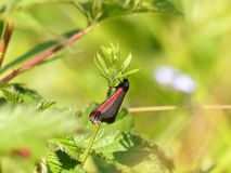 A brightly coloured Cinnabar moth Tyria jacobaeae stock image
