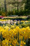 Brightly coloured daffodils and tulips at Keukenhof Gardens, Lisse, Netherlands. Keukenhof is known as the Garden of stock images