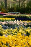 Brightly coloured daffodils and tulips at Keukenhof Gardens, Lisse, Netherlands. Keukenhof is known as the Garden of royalty free stock images