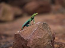 Brightly coloured male flatlizard viewing its environment from a rock royalty free stock image