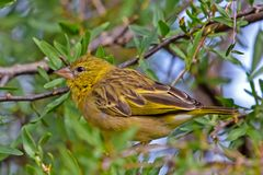 Immature weaver bird. Brightly coloured immature weaver in Karoo Stock Image