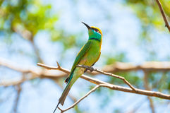 Brightly coloured little bee eater Royalty Free Stock Photography