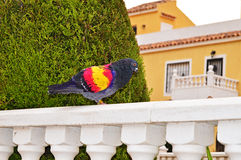 A Brightly Coloured Racing Pidgeon Stock Image