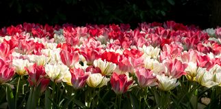 Brightly coloured red, pink and white tulips at Keukenhof Gardens, Lisse, Netherlands. Keukenhof is known as the Garden of royalty free stock photos