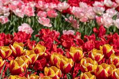 Brightly coloured red, pink and yellow tulips at Keukenhof Gardens, Lisse, Netherlands. Keukenhof is known as the Garden of stock photo