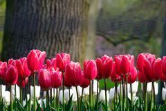 Brightly coloured red and white tulips at Keukenhof Gardens, Lisse, South Holland. Brightly coloured tulips on display at Keukenhof Gardens, Lisse, South Holland royalty free stock image