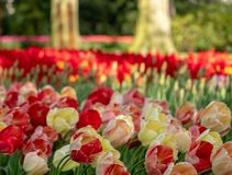 Brightly coloured red and yellow tulips at Keukenhof Gardens, Lisse, Netherlands. Keukenhof is known as the Garden of stock photography