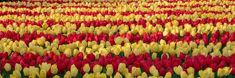 Brightly coloured red and yellow tulips at Keukenhof Gardens, Lisse, Netherlands. Keukenhof is known as the Garden of royalty free stock photography