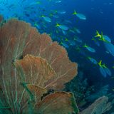 Brightly coloured tropical coral background. Misool, Raja Ampat, Indonesia. The reefs in the Misool Marine Protected Area within Raja Ampat, Indonesia, are the royalty free stock image