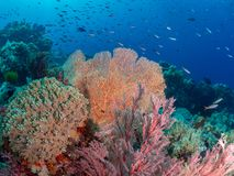 Brightly coloured tropical coral background. Misool, Raja Ampat, Indonesia. The reefs in the Misool Marine Protected Area within Raja Ampat, Indonesia, are the royalty free stock photography