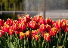 Brightly coloured tulips at Keukenhof Gardens, Lisse, South Holland. Brightly coloured tulips on display at Keukenhof Gardens, Lisse, South Holland, Netherlands royalty free stock photography