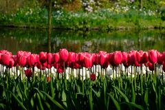 Brightly coloured tulips by the water at Keukenhof Gardens, Lisse, South Holland. Brightly coloured tulips on display at Keukenhof Gardens, Lisse, South Holland stock image