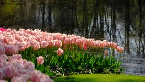 Brightly coloured tulips by the lake at Keukenhof Gardens, Lisse, South Holland stock photography
