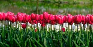 Brightly coloured red tulips at Keukenhof Gardens, Lisse, South Holland. Brightly coloured tulips on display at Keukenhof Gardens, Lisse, South Holland stock photos