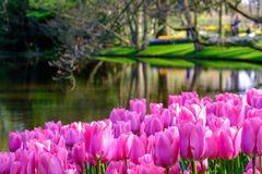 Vibrant pink tulips by the lake at Keukenhof Gardens, Lisse, South Holland