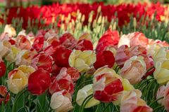 Brightly coloured tulips at Keukenhof Gardens, Lisse, Netherlands. Keukenhof is known as the Garden of. Red, yellow and orange tulips at Keukenhof Gardens, Lisse royalty free stock photography