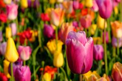 Brightly coloured tulips at Keukenhof Gardens, Lisse, South Holland. Brightly coloured tulips on display at Keukenhof Gardens, Lisse, South Holland, Netherlands stock photography