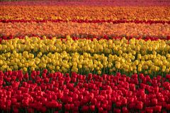Brightly coloured tulips reflect the evening light near Lisse, Netherlands, in stripes of colour. Brightly coloured tulips reflect the evening light near Lisse royalty free stock images