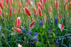 Brightly coloured tulips about to bloom at Keukenhof Gardens, Lisse, South Holland royalty free stock images