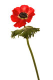 brightly flower red 免版税库存照片