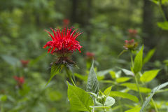 Brightly Flowering Bee Balm Royalty Free Stock Image