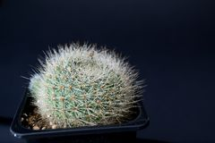 Brightly green cactus with white spines in water droplets on a black background. Mammillaria. royalty free stock photos