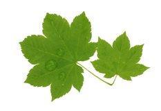 Brightly green maple leaf Stock Photo