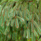 Brightly green prickly branches of a Christmas tree Royalty Free Stock Photography
