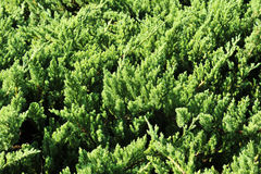 Brightly green prickly branches of a fur-tree or pine Royalty Free Stock Image