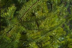 Branches of Pine Closeup Royalty Free Stock Photo