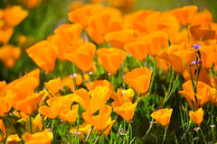 Brightly Lit California Poppies Stock Photos