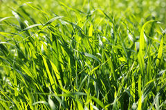 Brightly lit fresh green grass. As a natural background Royalty Free Stock Photography