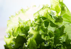 Brightly lit green lettuce leaves with water drops. Small depth of sharpness Stock Photo