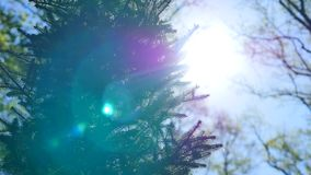 Brightly lit green spruce tree branches and needles against the background of soft blue sky stock footage