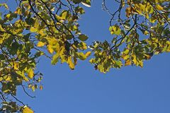 BRIGHTLY LIT JAPANESE RAISIN FOLIAGE AGAINST THE SKY Royalty Free Stock Photography