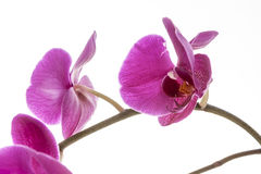 Brightly lit purple orchids. A close up fine art image of a purple orchid lit brightly against a white background Stock Image