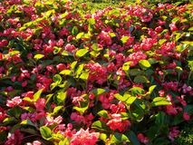 Brightly lit red flowers. Red flowers and green leaf plants brightly lit by sun Stock Image