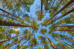 Brightly lit summer pine forest head-up view Royalty Free Stock Images
