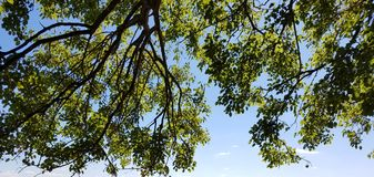 Brightly lit tree branches in a blue sky. A happy scene of brightly lit by mid day sun tree leaves and branches in a blue sky Stock Images