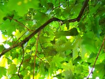 Brightly lit tree leaves. Sun light through maple tree leaves Royalty Free Stock Image