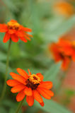 Brightly Orange Flowers. Flowers of orange Zinnia, with bright color and beautiful shape Stock Photo