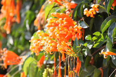 Brightly orange flowers on bush branches, Thailand. South east asia Royalty Free Stock Photos