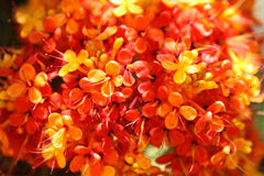 Brightly orange flowers on bush branches, Thailand. South east asia Stock Photos